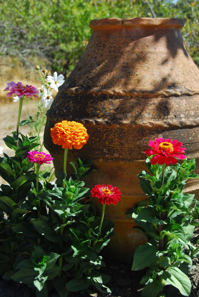 The self-sown zinnias, with an oil jar for size comparison (and to hide the lame surrounds)