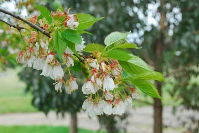 Cherry 10-10