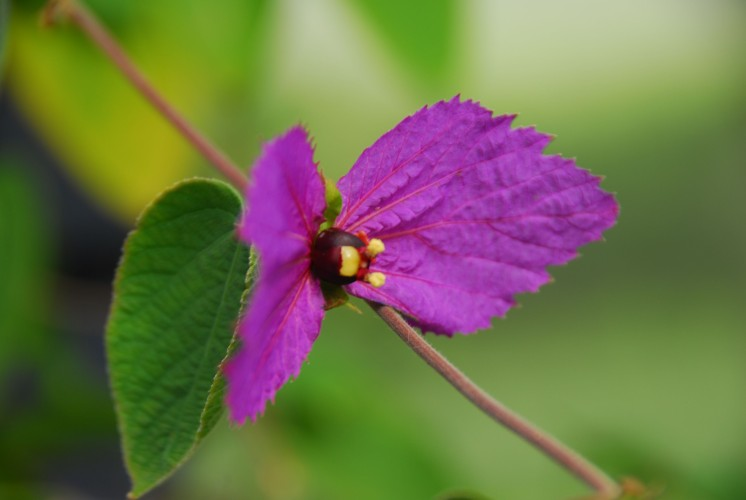 Dalechampia dioscoreifolia - put me in mind of Davidia (handkerchief tree), only purple, and on a vine