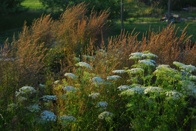 I'm at my least self-conscious, and most confident, when I'm playing with planting design.  Here the perennial Calamagrostis 'Karl Foerster' fluffs about amongst annual Ammi majus (Queen-Anne's Lace), placed deliberately in a spot that maximizes the potential for late-afternoon back-lighting.