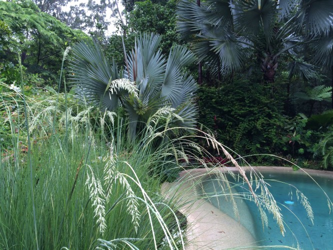 Vetiver (Chrysopogon sp.) and Bismarckia palm in delicious juxtaposition at Stringybark Cottage