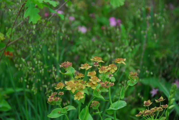Bupleurum perfoliatum 'Bronze Form'