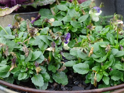 A pot of violas, that were flowering well when winter started, but haven't (and won't) produce another flower worth looking at until well into spring.  They produce 'em alright,  albeit slowly, but the weather reduces them to pulp before they can give any pleasure.