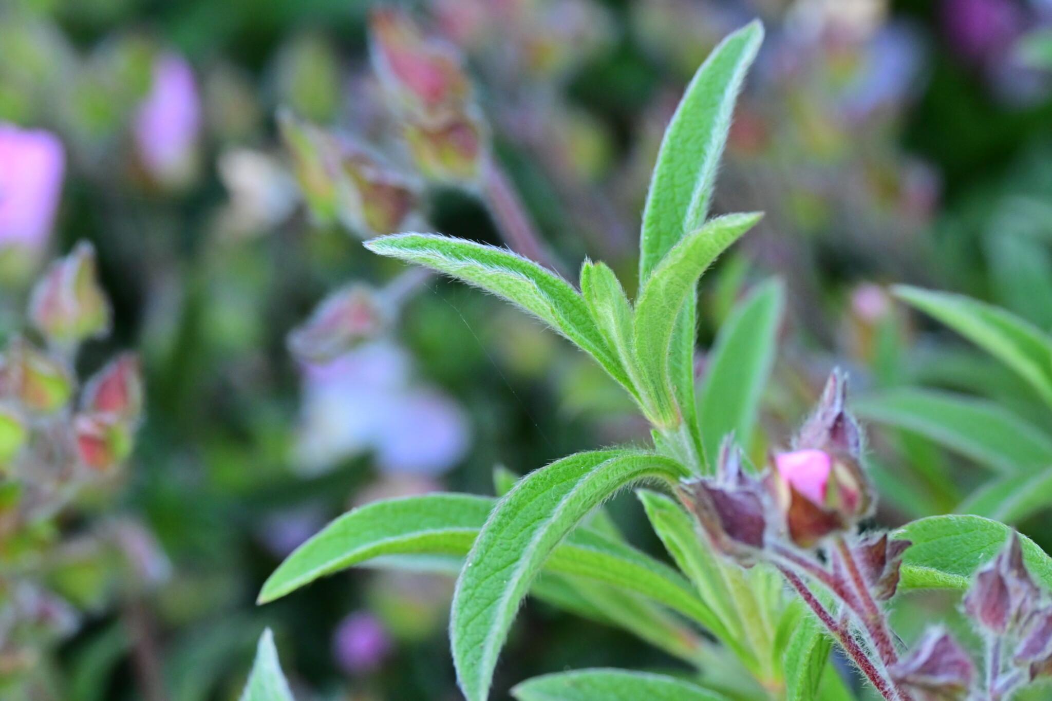 PLANT OF THE WEEK #37: Cistus x argenteus 'Silver Pink'